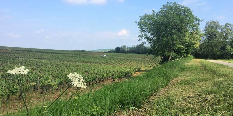 Die Weinberge