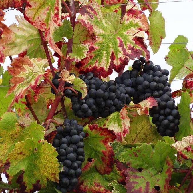 Rebsorte Pinot Noir