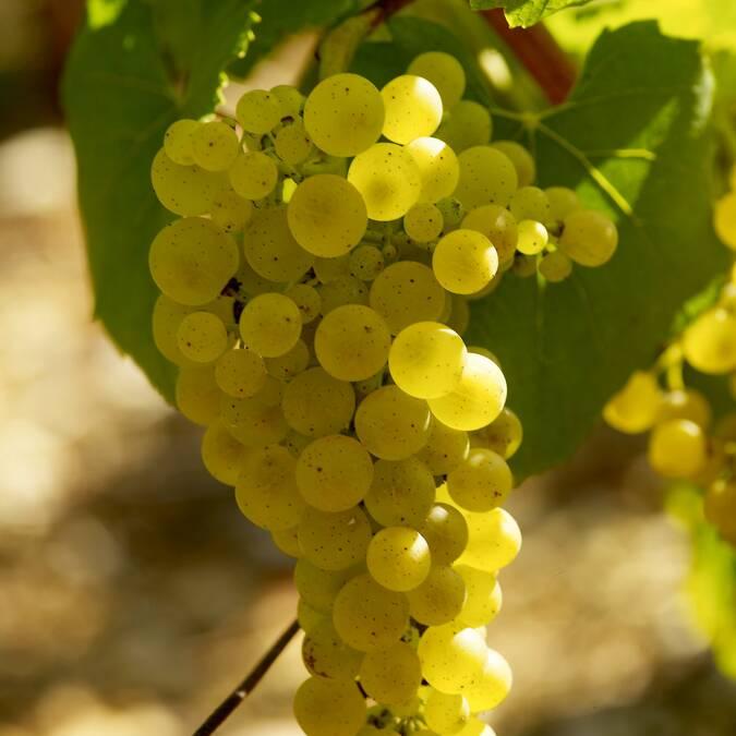 Chardonnay-Traube